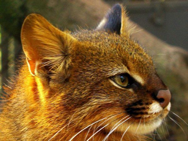 Пампасская кошка в профиль