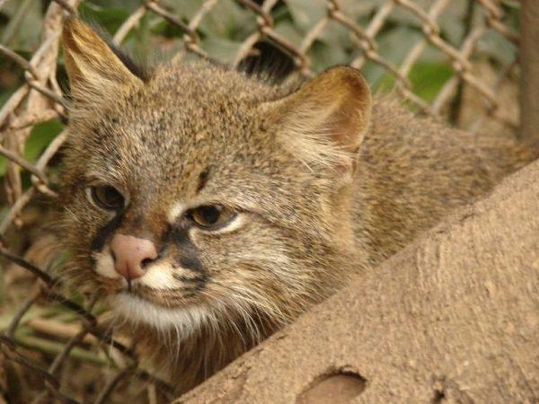 Пампасская кошка в засаде