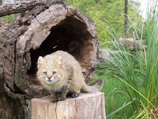 Пампасская кошка возле укрытия