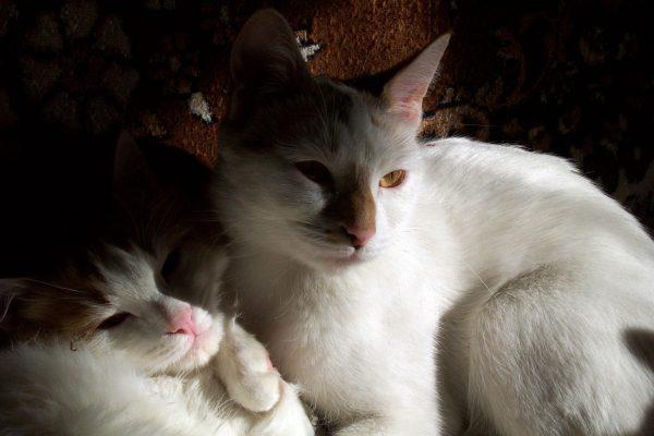 Пара анатолийских кошек