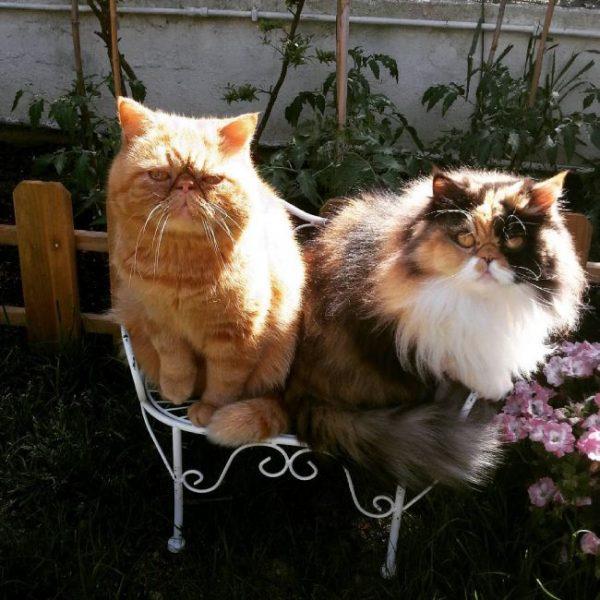 Пара пушистых кошек на стуле в саду