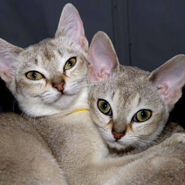 Пара сингапурских кошек