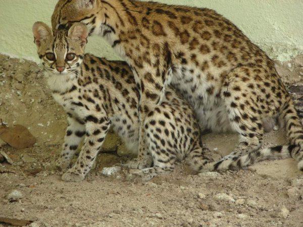 Пара тигровых кошек