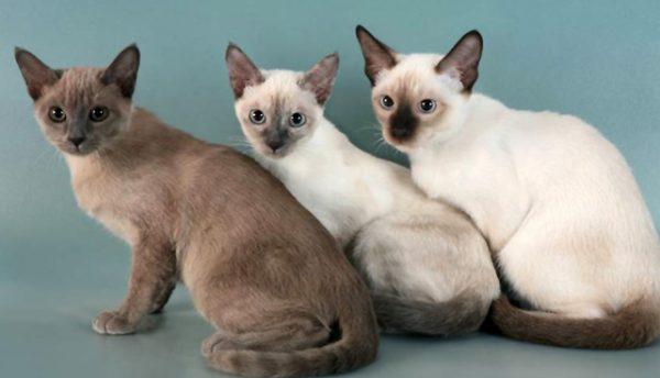 Три котёнка-тонкинеза