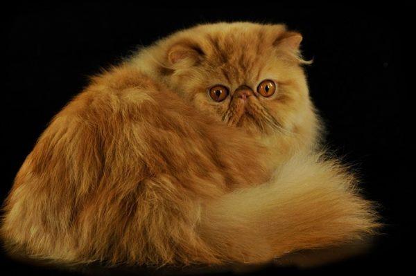 Персидский кот оглядывается