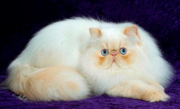 Персидская кошка на фиолетовом бархате