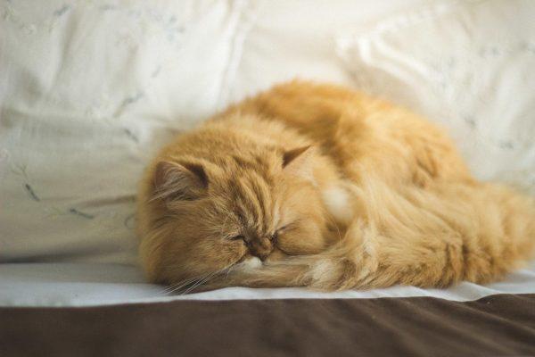Персидская кошка спит