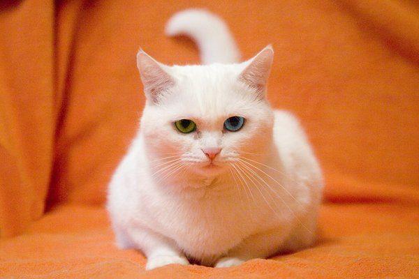 Первые выставочные анатолийские кошки