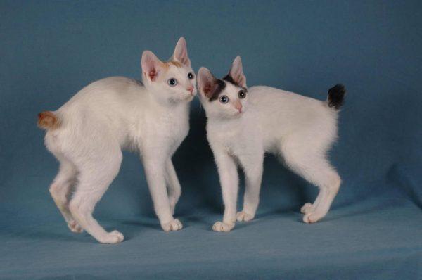 Подросшие котята бобтейла