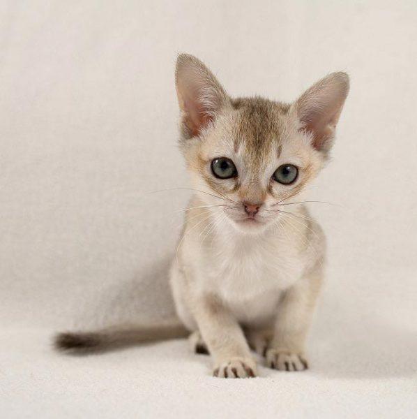 Подросший котёнок сингапура