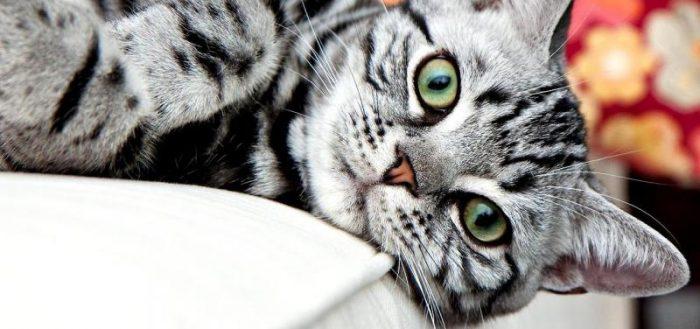 полосатая серая кошка на белой постели