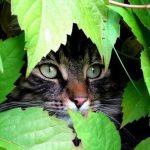 Полосатый кот прячется в листве