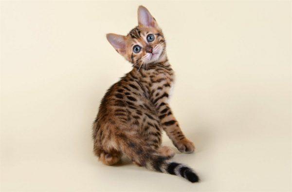 Полосатый котёнок-метис бенгальской кошки на белом фоне