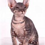 полосатый лысый кот