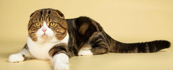 Кошка шотландская вислоухая лежит