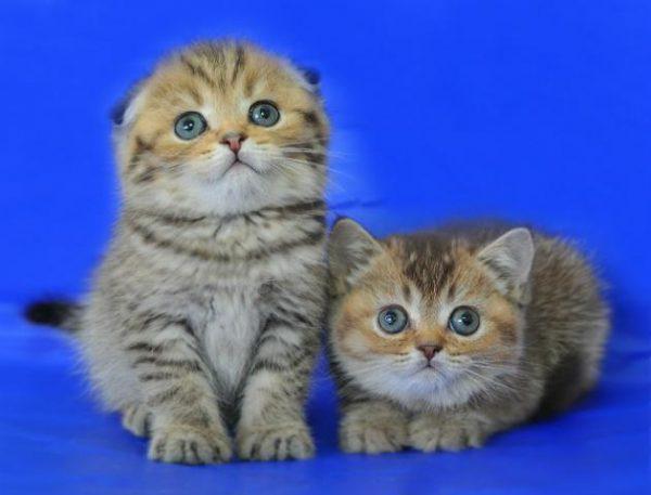 Прямоухий и вислоухий котёнок шотландской породы