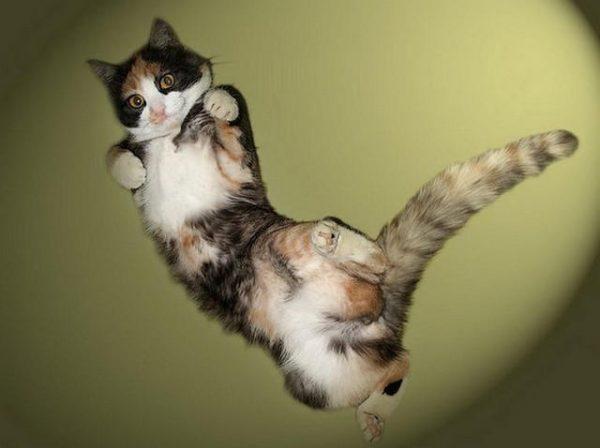 Прыгучая и подвижная анатолийская кошка