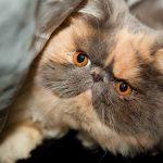 Пятнистый персидский кот