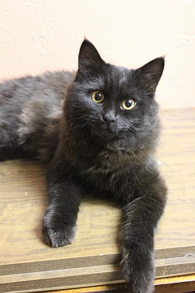 Кошка нибелунг на деревянном полу