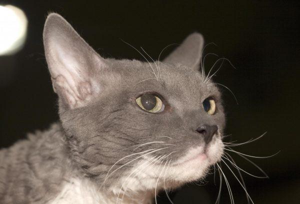 Мордочка серо-кремовой уральской кошки