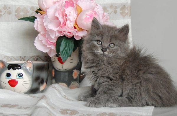 Котёнок нибелунга рядом с искусственными цветами