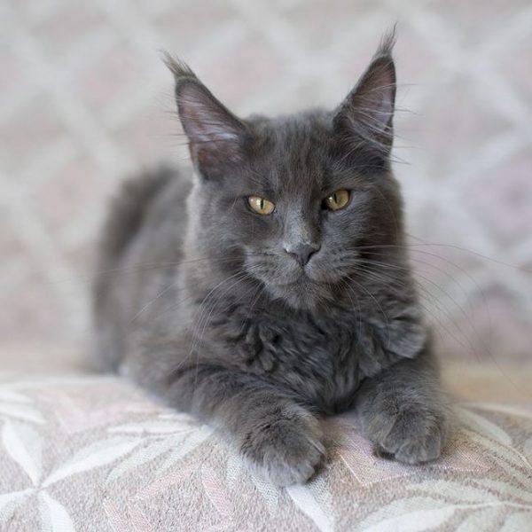Кот породы нибелунг на светлой гобеленовой подушке