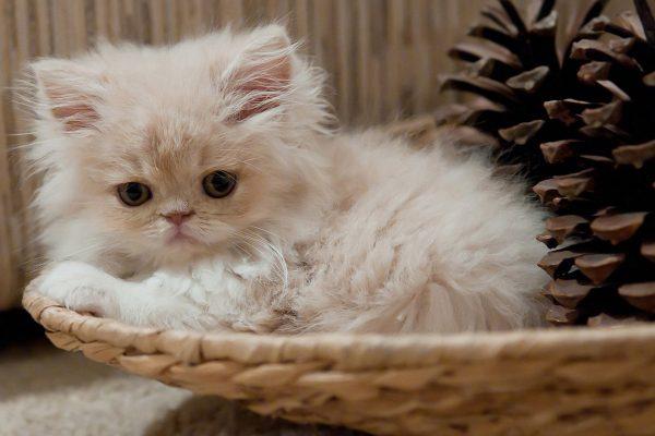 Светлый котёнок породы кимрик в корзине с сосновыми шишками