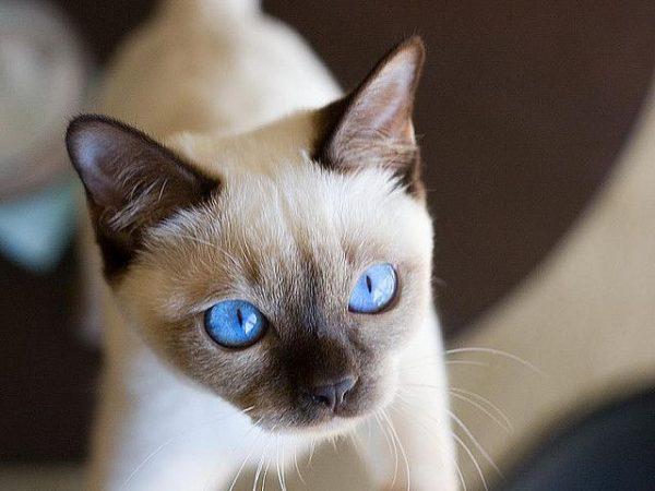 Котёнок тонкинеза