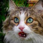 Разноцветный кот с зелёными глазами и высунутым языком