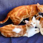 Редкие анатолийские кошки