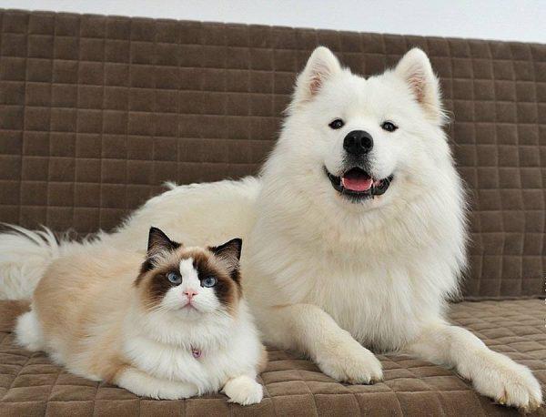 Кот породы рэгдолл спокойно лежит рядом с собакой