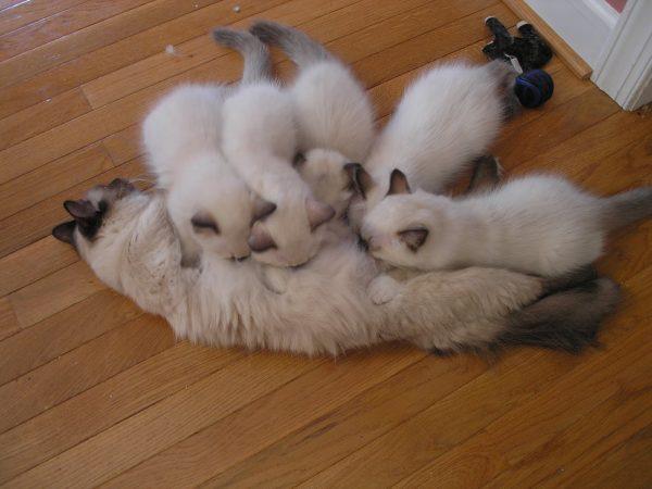 Рэгдолл с котятами