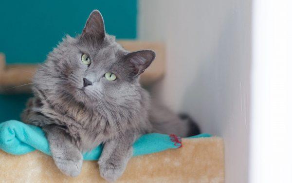 Кот-нибелунг лежит на голубом пледе с красной каймой