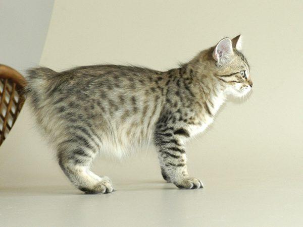 Котёнок американского бобтейла