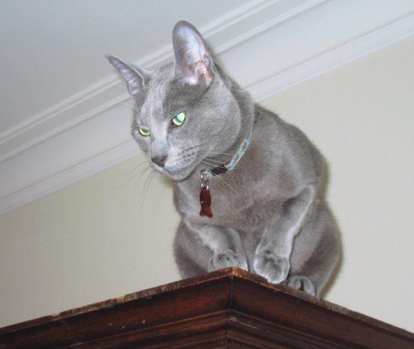 Русская голубая кошка на шкафу