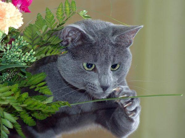 Русская голубая кошка шалит