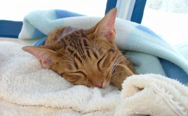 рыжая кошка под голубым пледом