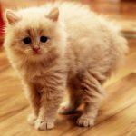 Рыжий котёнок выгибает спину