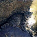 андская кошка сидит в тени скалы