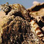 андская кошка прижимается к валуну