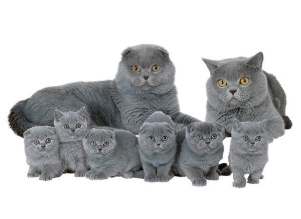 Семья шотландских кошек