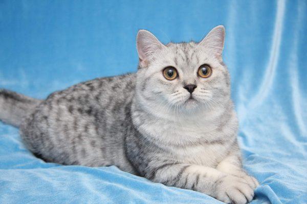 Серая британская кошка лежит на голубом бархате