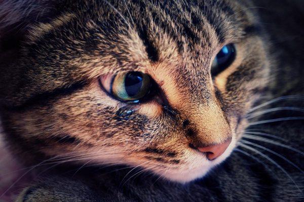 серая полосатая кошка плачет