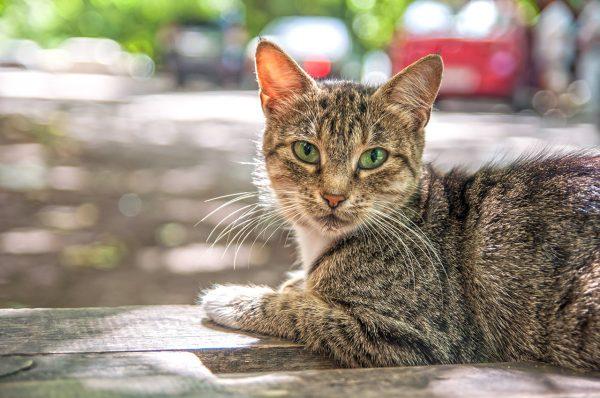 Серая полосатая кошка с зелёными глазами