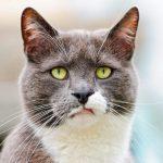 Серо-голубой кот с зелёными глазами