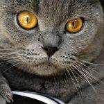 Серый британский кот с янтарными глазами