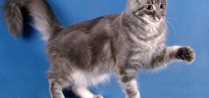 Серый кот породы кёрл на голубом фоне с поднятой лапой
