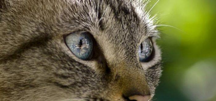 Серый кот с голубыми глазами смотрит в пространство