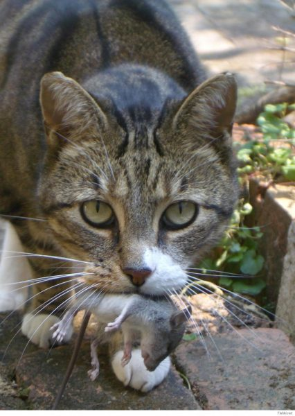 Серый кот с мышью в зубах