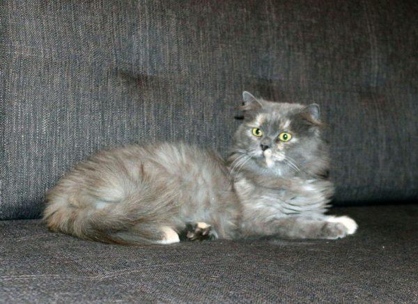 Серый метис персидской кошки на диване